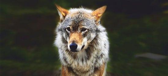 Wolf Jagdvortrag Stieglerhaus